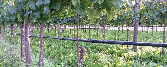 Impianto d'irrigazione vigneto a San Zenone degli Ezzelini TV