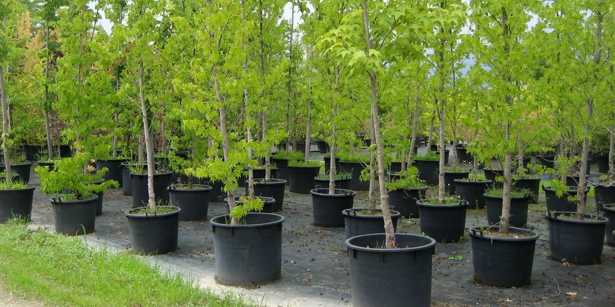 piante vivaio in contenitore ed esemplari
